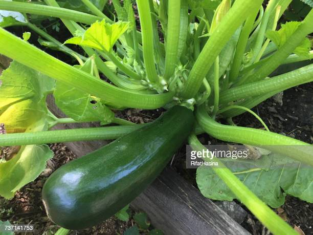 Zucchini growing on courgette plant