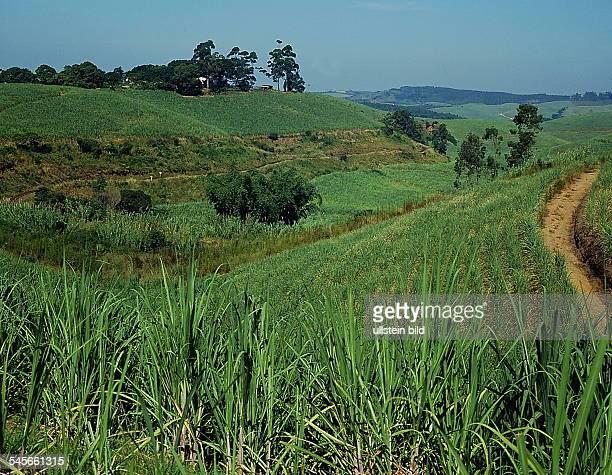 Zuckerrohr - Plantage in Natal- o.J.