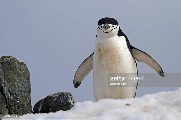Zuegelpinguin im Schnee Antarktis