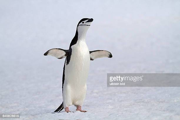 Zuegelpinguin im Schnee in der Antarktis