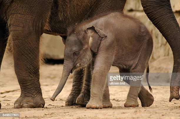 Zum zweiten Mal gab es im Mai 2012 Nachwuchs bei den Asiatischen Elefanten im Tierpark Berlin Am wurde ein weibliches Jungtier von der erfahrenen...