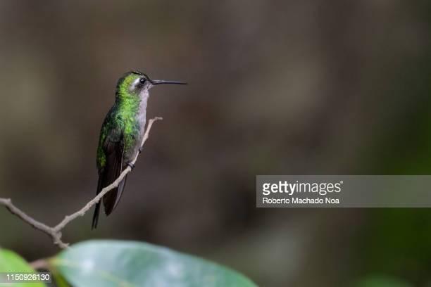 zunzun bird or bee hummingbird perched on a tree branch - キューバ サンタクララ ストックフォトと画像