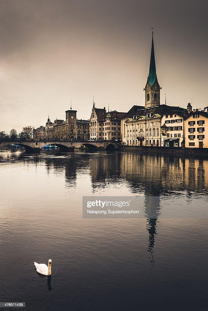 Zurich Swan : Stock Photo