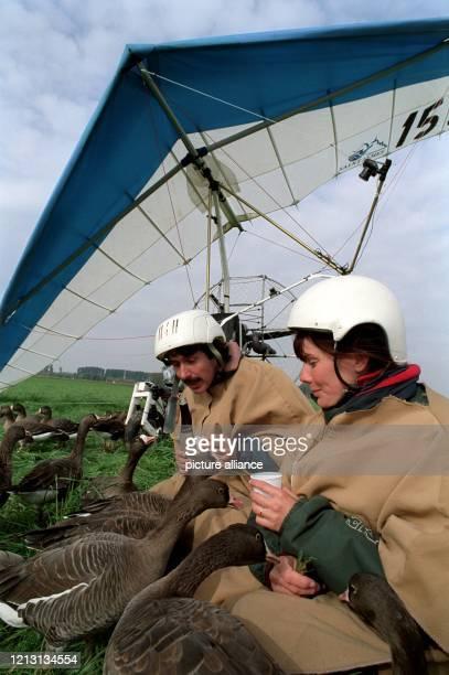 Zutraulich scharen sich mehrere Zwerggänse um die französischen Piloten Paola und Christian Moullec die am 7101999 auf einer Wiese bei Xanten mit...