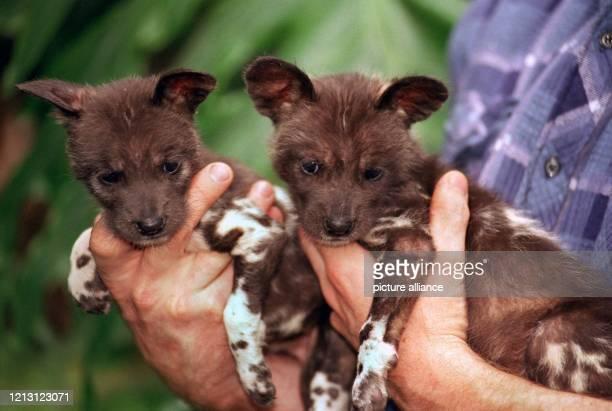Zwei afrikanische Wildhundbabys hält der Tierpfleger Michael Pasch am im Münchner Tierpark Hellabrunn in seinen Händen Da die Wildhundmutter Sarabi...