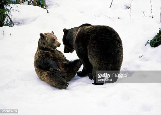Zwei Braunbaeren nach langer Winterruhe begegnen sich im noch verschneiten Revier