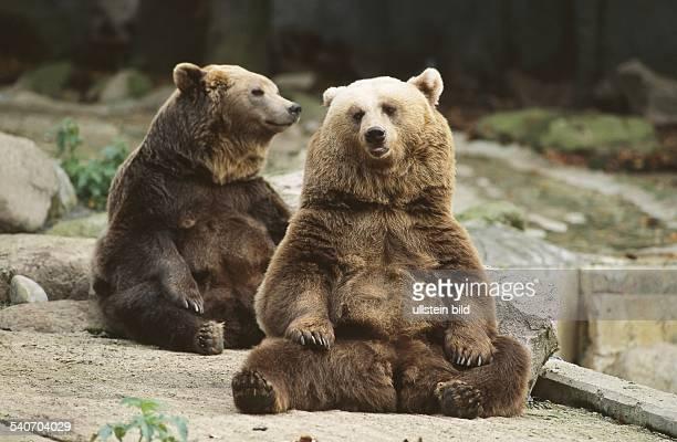 Zwei Braunbären sitzen im Außengehege des Tierpark Osnabrück auf dem Boden. Aufgenommen um 1998