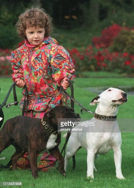 Zwei Bullterriers versucht die dreijährige Sharmila am auf der Bundessieger-Zuchtschau für Rassehunde in Dortmund an der Leine zu halten. Als...