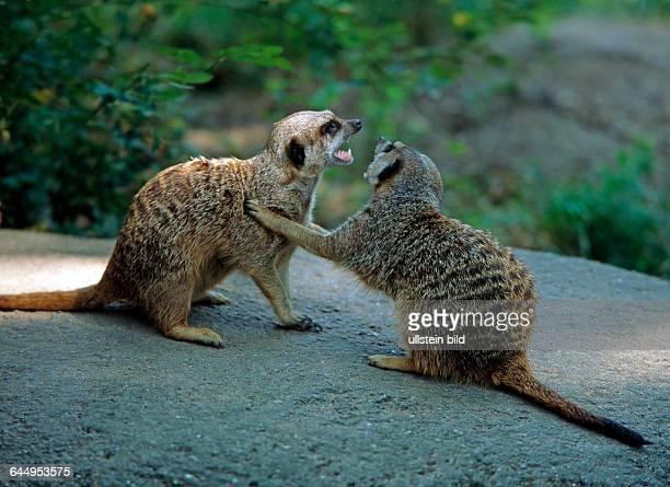 Zwei Erdmaennchen oder Surikaten gesellige Schleichkatzen aus den offenen Savannen Suedafrikas streiten miteinander
