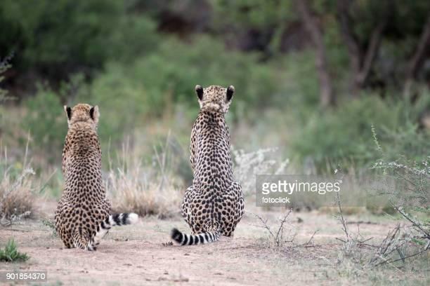 Zwei Geparden Machen Pause