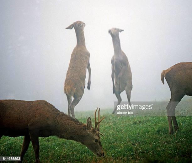 Zwei Hirschkuehe streiten im Morgennebel auf einer Bergwiese hochaufgerichtet auf den Hinterlaeufen miteinander um die Rangordnung