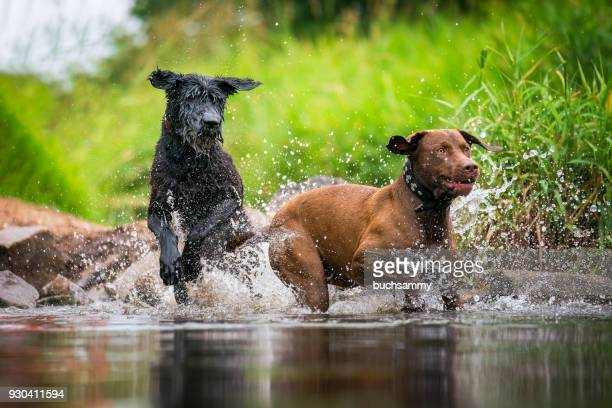 zwei hunde beim toben im wasser - wasser imagens e fotografias de stock