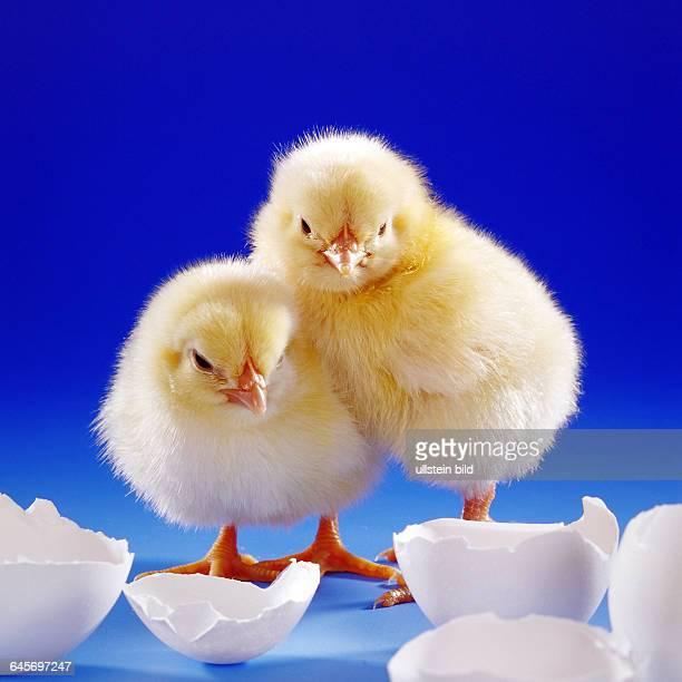 Zwei junge Huehner Kueken Studioaufnahme Symbolfoto Ostern Geburt Eischale Ei Symbolfoto