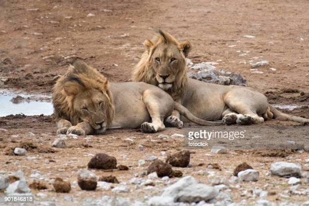 Zwei Löwen Im Etosha-Nationalpark