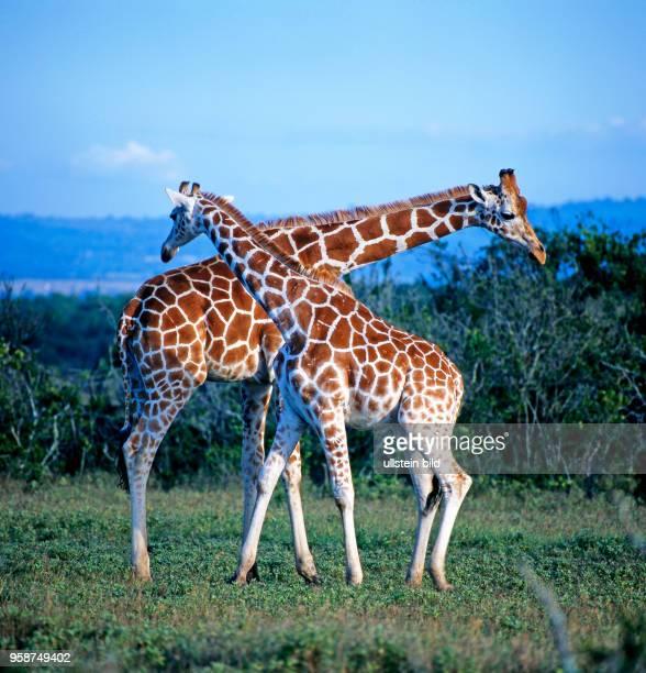 Zwei Netzgiraffen Giraffa camelopardalis reticulata streiten im Halskampf um die Rangordnung