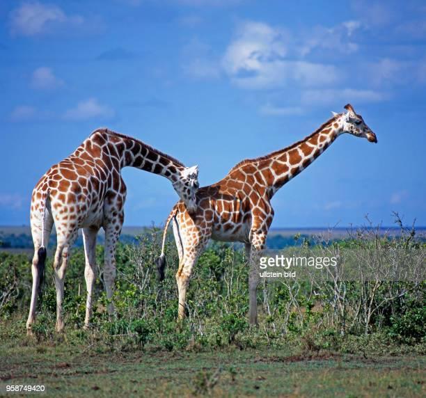 Zwei Netzgiraffen mit markantem Fellmuster Giraffa camelopardalis reticulata in der Savanne des Aberdare Nationalparks in Kenia der Bulle prueft die...