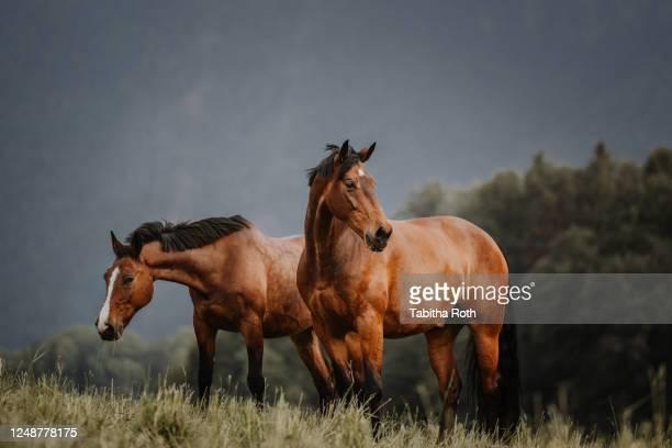 zwei pferde auf der wiese freundschaft pferdeherde - freundschaft stock pictures, royalty-free photos & images