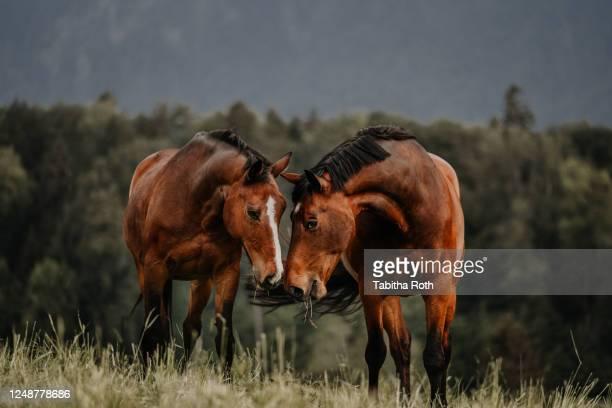 zwei pferde beschnuppern sich auf der wiese freundschaft - freundschaft stock pictures, royalty-free photos & images