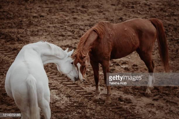 zwei pferde beschnuppern sich freundschaft - freundschaft stock pictures, royalty-free photos & images