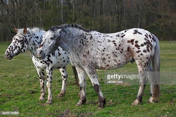 Zwei Pferde der Pferderasse Appaloosa