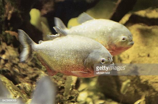 Zwei Piranhas im Wasser Das Schuppenkleid ist mit goldfabenen Punkten übersät