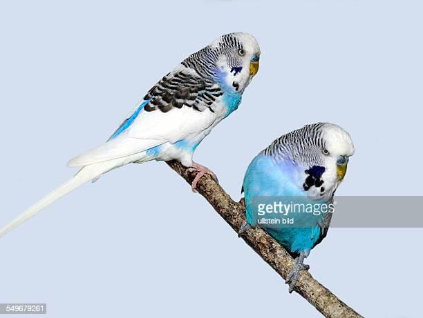 Zwei weissblaue Wellensittich Männchen auf Sitzast