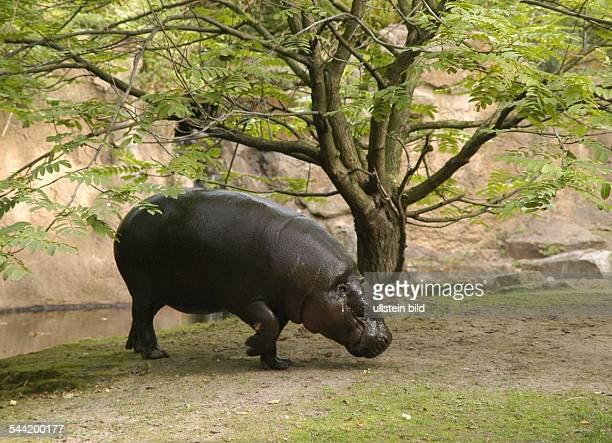 Zwergflusspferd im Berliner Zoo