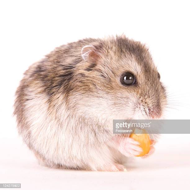 zwerghamster, alfred, animal, animals, cankerous, corn - animal digestive system stock photos and pictures