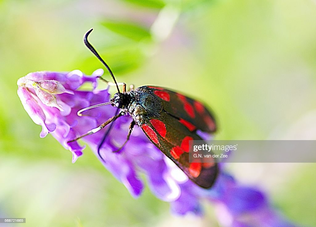 Zygaena filipendulae _ St. Jansvlinder _ Six-spot- : Stock Photo