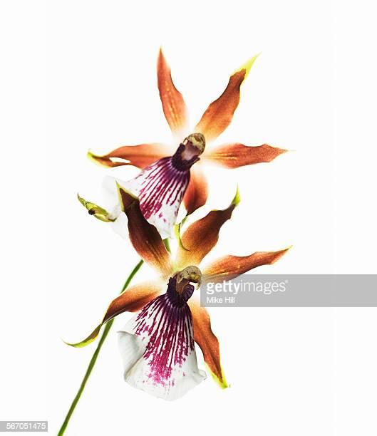 Zygopetallum orchid on white background