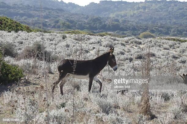 Zypern Herde Wildesel im Nordteil von Zypern / Tuerkischer Teil in einem Naurschutzgebiet Karpas Halbinsel