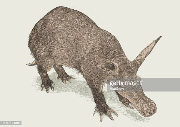 aardvark nocturnal mammal - aardvark stock illustrations