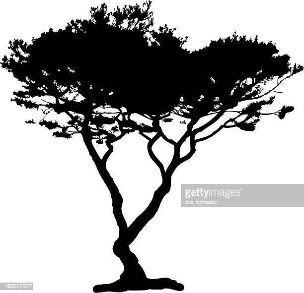 acacia tree silhouette, vector - cypress tree stock illustrations