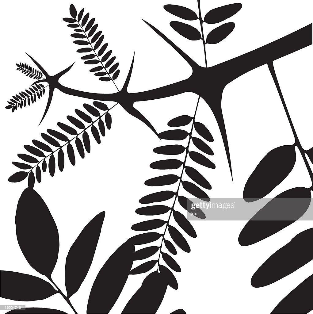 acacia - vector