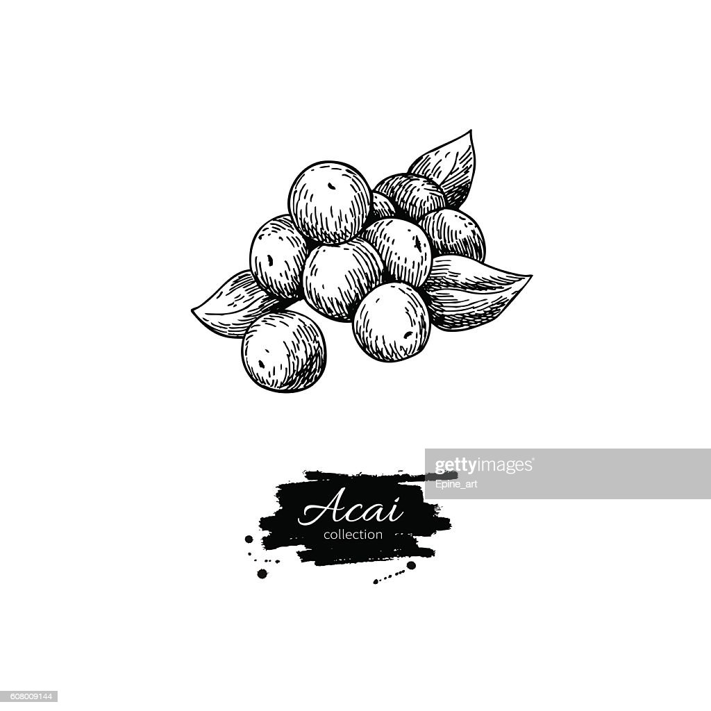 Acai berry vector superfood drawing. Isolated hand drawn  illust