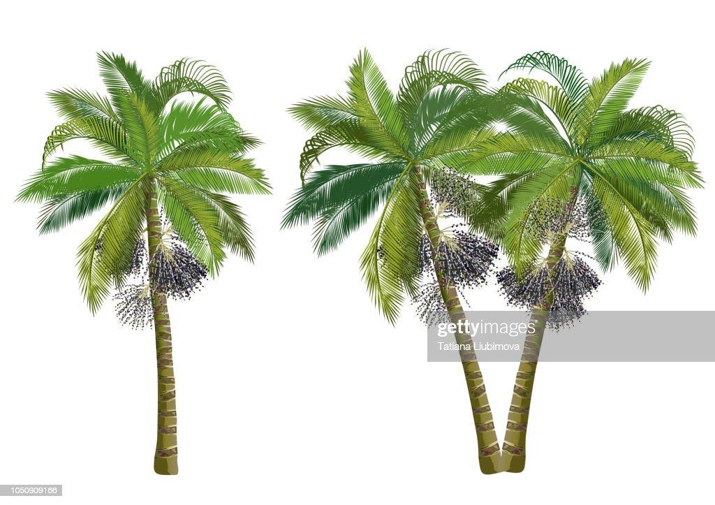 Acai palm trees (Euterpe oleracea), realistic vector illustrations.