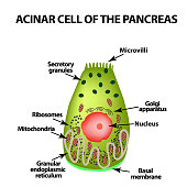 Acinar cell of the pancreas. Acinus. Infographics. Vector illustration on isolated background