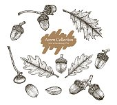 Acorn collection vector set hand drawing vintage style