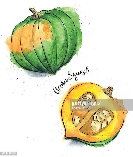 Acorn Squash Painted in Watercolor - Vector Illustration