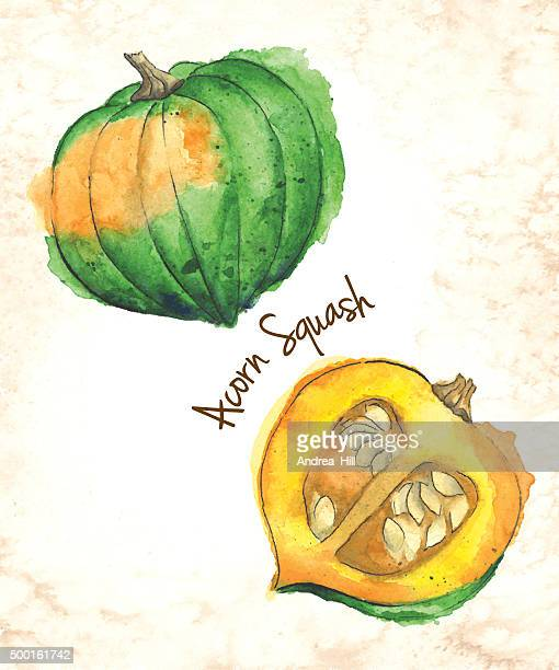 Acorn Squash Vector Illustration Painted in Watercolor