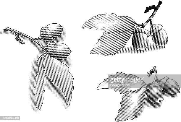acorns and oak leaves - oak leaf stock illustrations