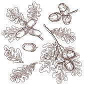 Acorns, oak, vector hand drawing