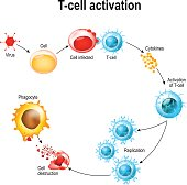 Activation of  T-cell leukocytes
