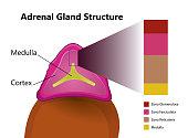 Adrenal gland structure vector illustration