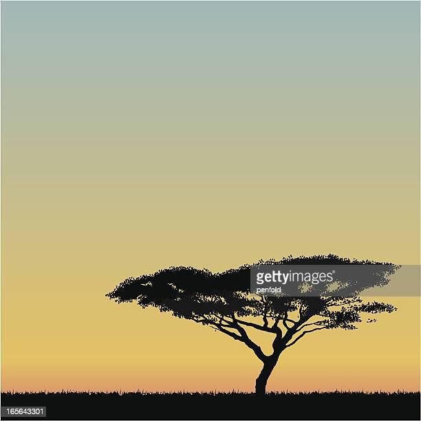 Afrikanischer Akazie tree