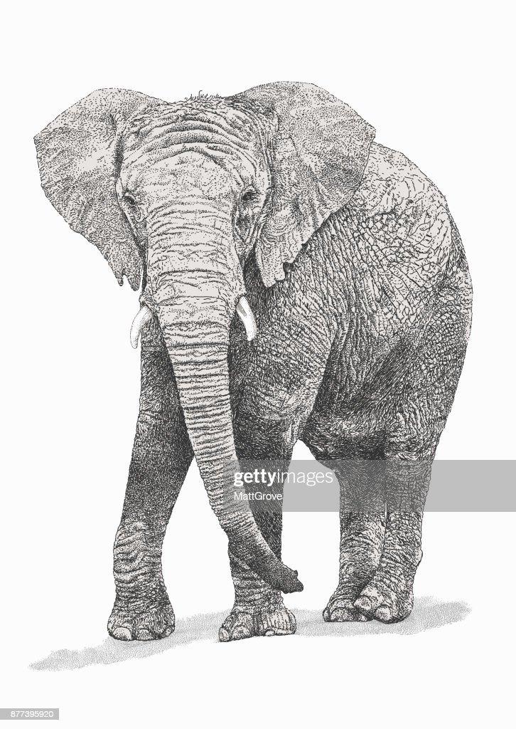 African Bull Elephant : stock illustration