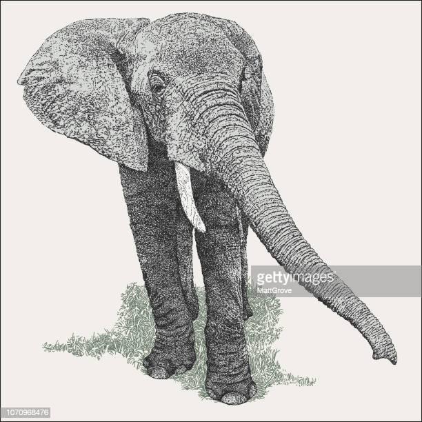 ilustrações de stock, clip art, desenhos animados e ícones de african elephant - elefante