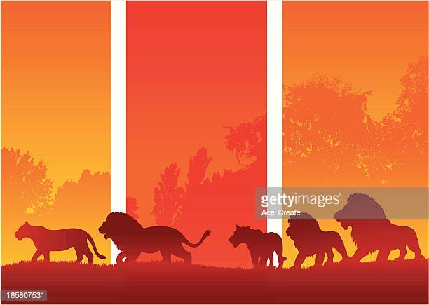 African pride of Lions silhouette on safari