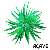 Agave cactus watercolor