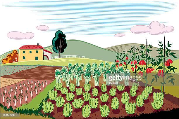 agricultural landscape - chicory stock illustrations, clip art, cartoons, & icons
